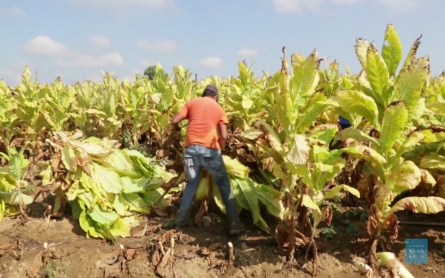 Report cites health risks for teen tobacco laborers