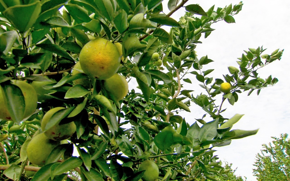 Need to Know: Meet the bug killing the world's orange groves | Al ...