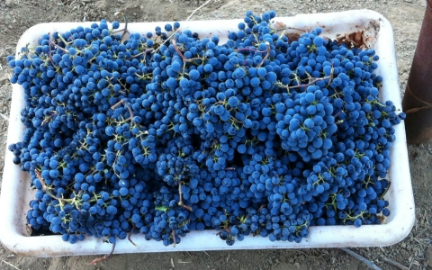 Grapes ready to be turned into wine at Shafer Vineyards.
