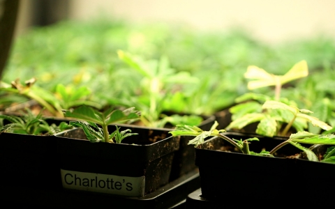 Medicinally-focused marijuana with low levels of THC makes up about 70% of the Stanleys' crop.